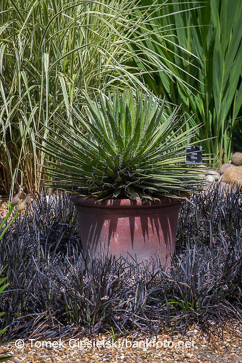 Agave filifera in container