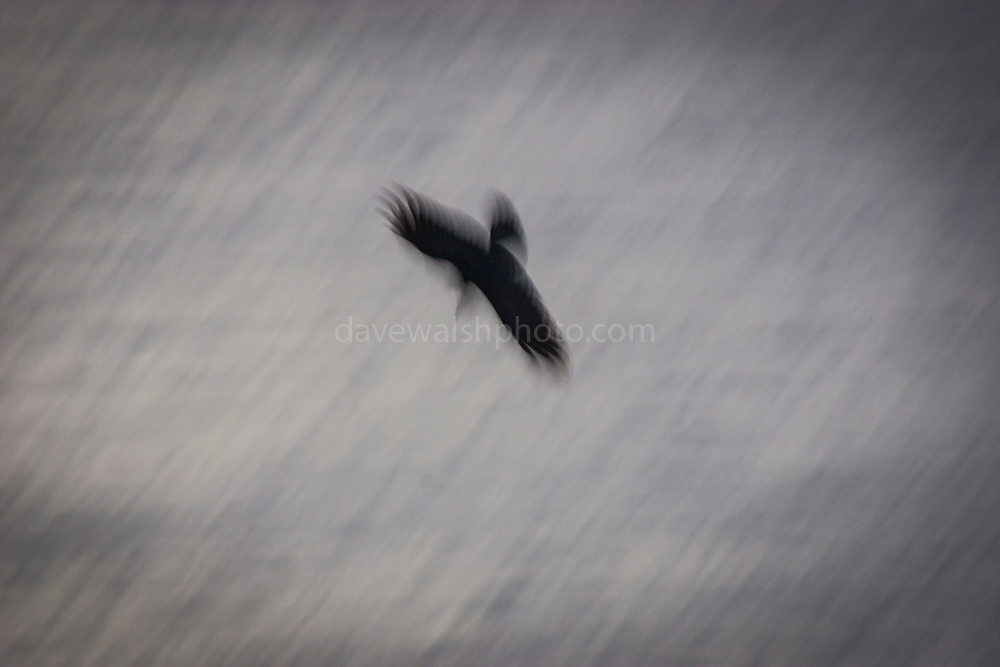 A ravens dives from the Cliffs of Moher. Raven (corvus corax) at Hag's Head on the Cliffs of Moher, Co. Clare, Ireland..