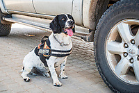 Counter poaching detection dog, Sabi Sands Wildtuin, Limpopo Province, South Africa