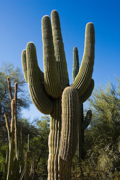 A large Saguaro cactus, Phoenix, Arizona, USA.