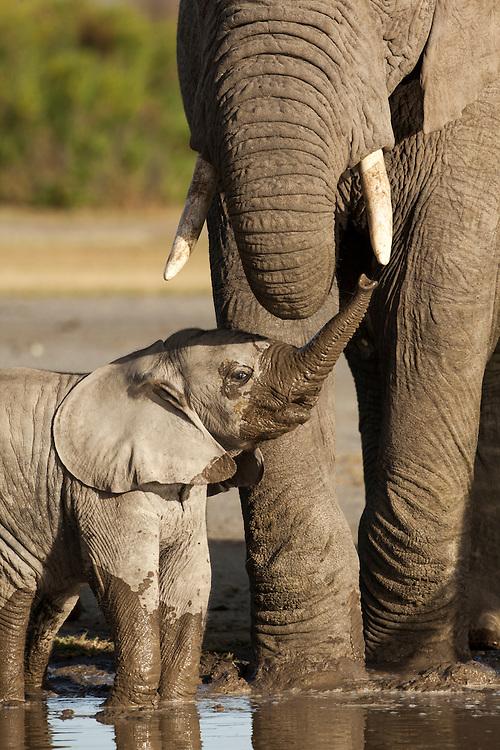 Tanzania, Ngorongoro Conservation Area, Ndutu Plains, Young Elephant calf (Loxodonta africana) raises trunk to adult while drinking at water hole