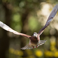 Racing and homing pigeons photographed by David Stephenson, The Pigeon Photographer