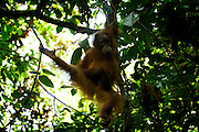 One of orang utan named Petra(7th) already freely in the forest around Bukit Tiga Puluh National Park after she get reintroduction program in sungai pengian center of reintroduction for orang utan run by Frankfurt Zoological Society(FZS)
