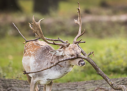 © Licensed to London News Pictures. 17/10/2017. London, UK. A young stag rubs his antlers in a tree branch at first light in Bushy Park.  Storm Ophelia is expected to hit parts of Scotland later today. Photo credit: Peter Macdiarmid/LNP