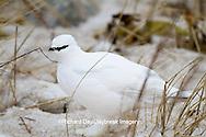 00841-00102 Rock Ptarmigan (Lagopus mutus) Churchill Wildlife Management Area, Churchill, MB Canada