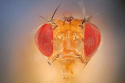 [Digital focus stacking] Wild Fruit Fly (Drosophila melanogaster)   Um die Taufliege (Drosophila melanogaster) zu sehen, muss man nicht nach Wien ins Labor fahren - hat man im Sommer eine überreife Banane oder Ähnliches in der Küche, ist sie, unter dem Namen Fruchtfliege bekannt, stets zur Stelle, um Nahrhaftes mit ihrem ausklappbaren Leckrüssel aufzunehmen. Aber wer würde, während er fluchend die Plage bekämpft, eine solche Schönheit und Perfektion im Detail vermuten...  wild lebendes Exemplar (keine Laborfliege)