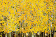 "SHOT 9/23/14 3:09:04 PM - A stand of aspen trees change color near Rollinsville, Co. in the Arapaho National Forest. Aspens are trees of the willow family and comprise a section of the poplar genus, Populus sect. Populus. The Quaking Aspen of North America is known for its leaves turning spectacular tints of red and yellow in the autumn of the year (and usually in the early autumn at the altitudes where it lives). This causes forests of aspen trees to be noted tourist attractions for viewing them in the fall. These aspens are found as far south as the San Bernardino Mountains of Southern California, though they are most famous for growing in Colorado. Autumn leaf color is a phenomenon that affects the normally green leaves of many deciduous trees and shrubs by which they take on, during a few weeks in the autumn months, one or many colors that range from red to yellow. The phenomenon is commonly called fall colors and autumn colors, while the expression fall foliage usually connotes the viewing of a tree or forest whose leaves have undergone the change. In some areas in the United States ""leaf peeping"" tourism between the beginning of color changes and the onset of leaf fall, or scheduled in hope of coinciding with that period, is a major contribution to economic activity. (Photo by Marc Piscotty / © 2014)"