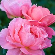 ROSA GRANDIFLORA 'SWEET FRAGRANCE'