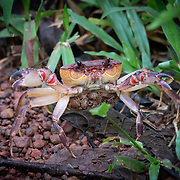 There are around 1,300 species of freshwater crabs, distributed throughout the tropics and subtropics, divided among eight families. They show direct development and maternal care of a small number of offspring, in contrast to marine crabs which release thousands of planktonic larvae. This limits the dispersal abilities of freshwater crabs, so they tend to be endemic to small areas. As a result, a large proportion are threatened with extinction.