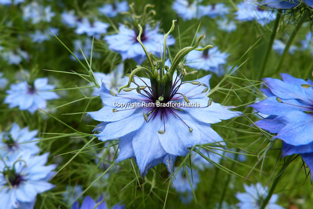 The wonderfully architectural, deep blue flowers of Nigella damascena 'Oxford Blue'.<br />