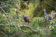 Two wild turkeys on a tree branch.