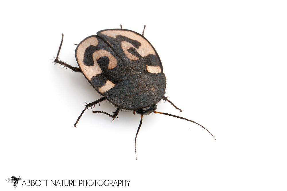 Question Mark Roach (Therea olegrandjeani)<br /> captive specimen