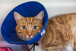 """Angus"" the ginger tom cat who was discovered impaled on three steel fence spikes in North London continues to recover at the RSPCA's Harmsworth Animal Hospital in north London, following lifesaving surgery to remove the 20mm thick spikes from his body. PICTURED: 'Angus is wearing a 'buster collar' to prevent him from interfering with his wounds. London, March 14 2018."