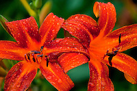 Close-up of gorgeous, vibrant orange, tiger lily flowers.
