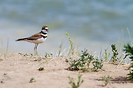 A Killdeer near the water at Standley Lake