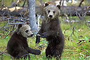 Grizzly Bear Cubs, One Standing in Habitat
