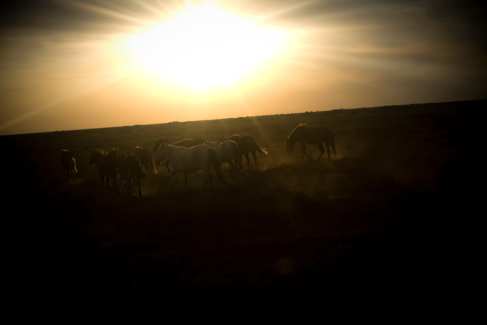 CREDIT: DOMINIC BRACCO II..SLUG:PRJ/KAZAKHSTAN..DATE:10/30/2009..CAPTION:Horses kick up a cloud of dust near the old sea bed on Oct. 30, 2009...Aral Sea Overview: ..During the 1960s the USSR began irrigating the waters of the Aral Sea in southern Kazakhstan to combat their growing food crisis. The Soviets severely miscalculated and water began receding quickly from the port cities. The waters continued to recede. By 2000 the water was 80 km away from the city of Aralsk, a main seaport in Kazakhstan. In 2005 with help from the World Bank, construction began on a 13km dike that locals hoped would bring the waters back to their original shores. The project raised water quality and fishing was able to resume, however four years after completion of the dike the water is still 50km from Aralsk's port. Locals seem mixed on the possibility of the sea returning after more than 40 years without the sea. Fishermen from Aralsk make a three-hour path through soft desert road along the former seabed. The only source of income for many is cattle, horses, and camels, which have, began to overgraze the areas of the former seabed and surrounding desert. Because of this nutrient rich topsoil is lifted by the wind and the process of desertification continues.  .