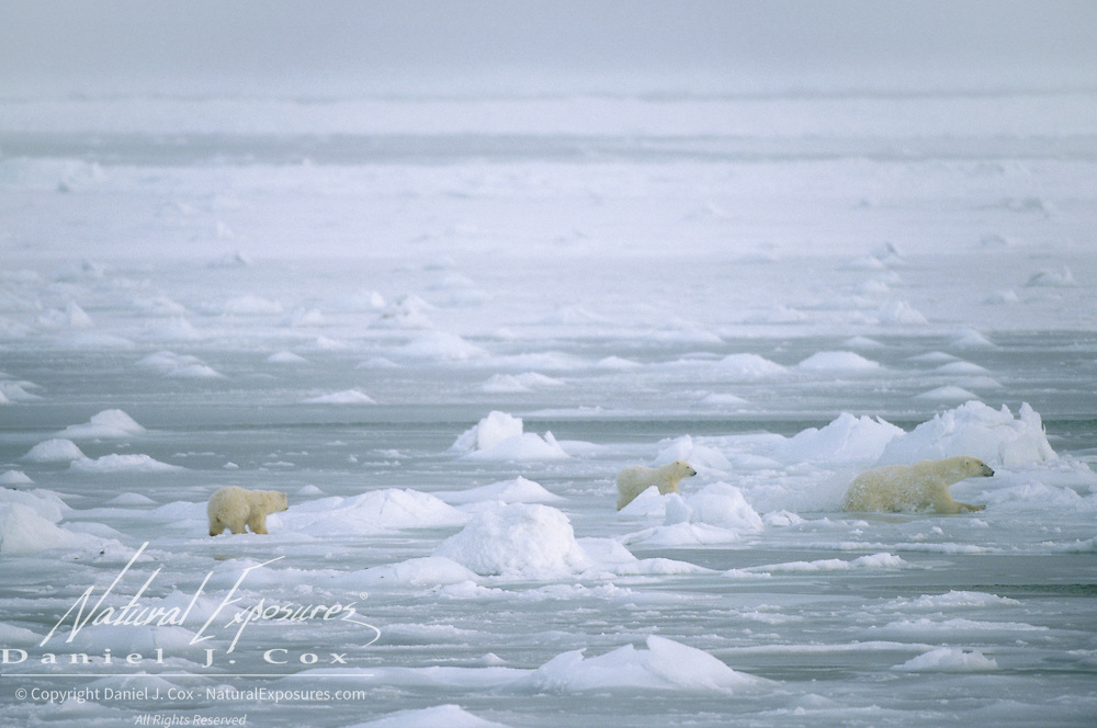 Polar bear mother and cubs. Canada