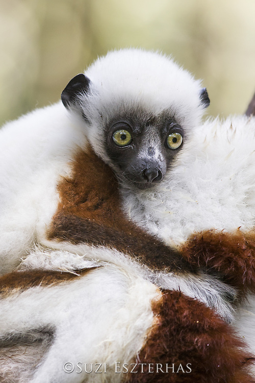 Coquerel's sifaka <br /> Propithecus coquereli<br /> Three-month-old baby on mother's back<br /> Eastern Madagascar, Africa