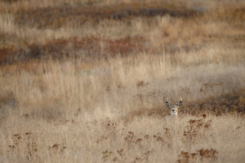 A young white-tail buck (Odocoileus virginianus) blends easily with the landscape of Western Montana.