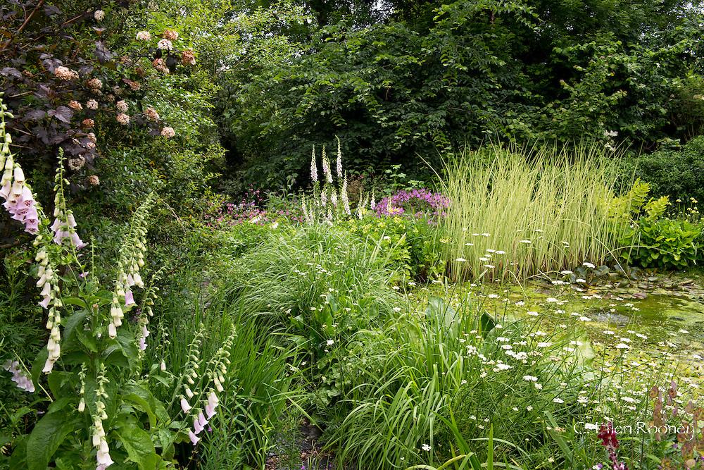 Digitalis and Miscanthus 'Cosmopolitan' around a pond in Derry Watkins' Special Plants Garden, Cold Ashton, Chippenham, Somerset, UK