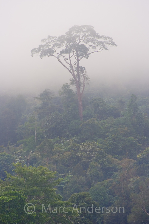 Tropical rainforest trees surrounded by mist, Taman Negara National Park, Malaysia..