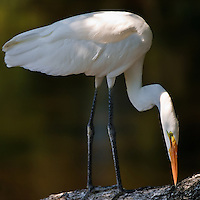 Portrait of a wild adult great egret (Ardea alba) perched on a large tree limb at the St. Augustine Alligator Farm Rookery, Anastasia Island, St. Augustine, Florida