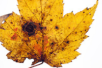 Close-up of a Maple Leaf, illuminated on a white background, color changed to yellow and red in the fall.