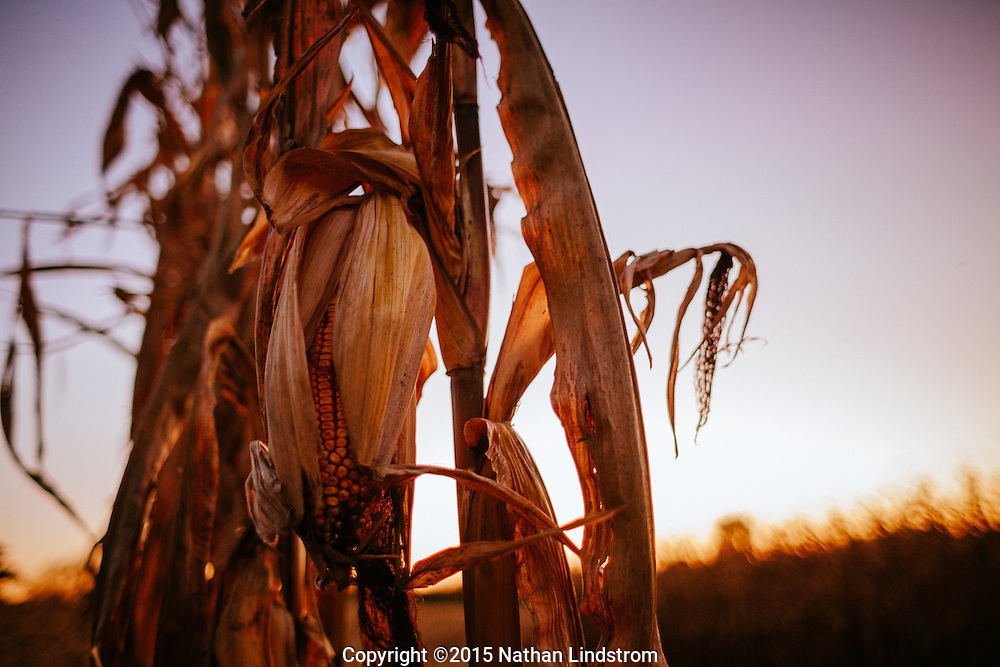 Corn stalk and sunset on an Iowa farm.<br /> by commercial Texas photographer Nathan Lindstrom