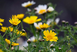 Crown Daisy (Glebionis coronaria) yellow and white flowers, Ravenswood Open Space Preserve, Palo Alto, California, United States of America