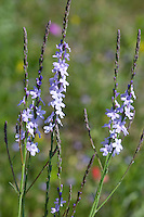 Slender Vervain (Verbena halei), Baxar County, Texas
