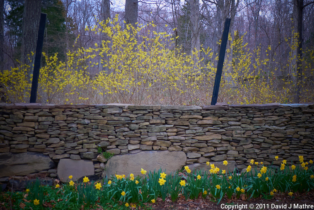 Forsythia Bloom. Spring in New Jersey. Image taken with a Leica D-Lux 5 (ISO 100, 10.7 mm, f/2.8, 1/25 sec)