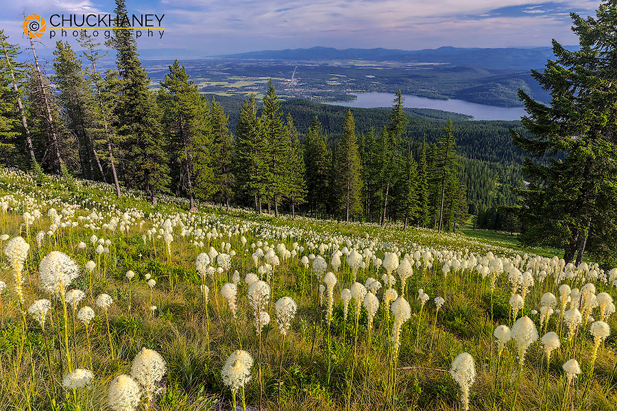 Epic beargrass bloom on Big Mountain in Whitefish, Montana, USA