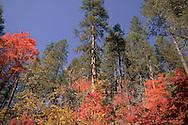Colorful scene - Oak Creek Canyon, AZ