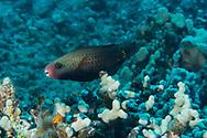 Bullethead Parrotfish Female, Chlorurus spilurus, (Valenciennes, 1840), Maui, Hawaii