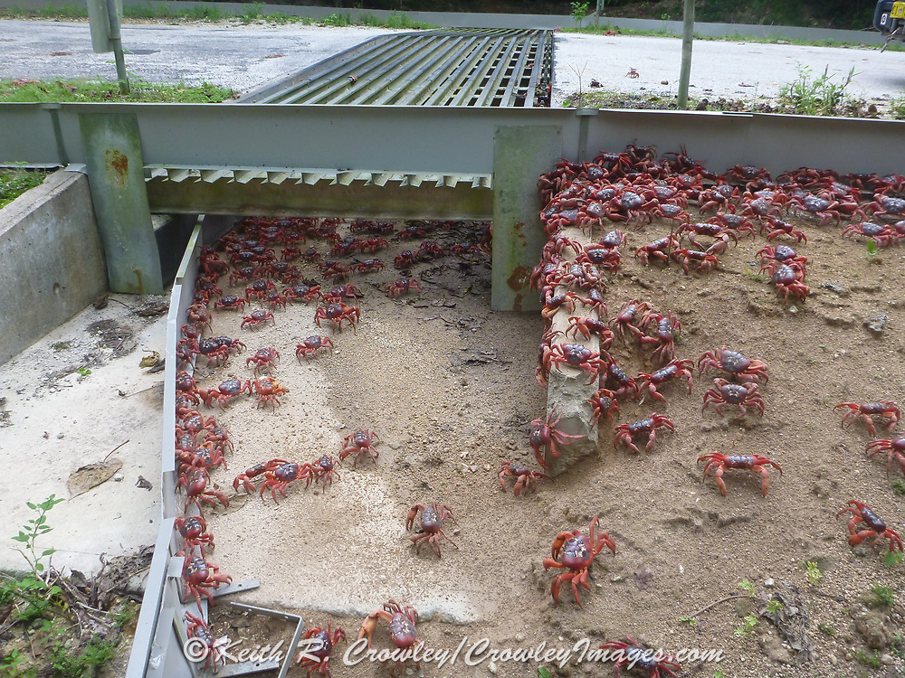 Red Crabs cross a highway on Christmas Island with a little help from dedicated animal crossings designed to safely allow them to cross busy roads on the island.