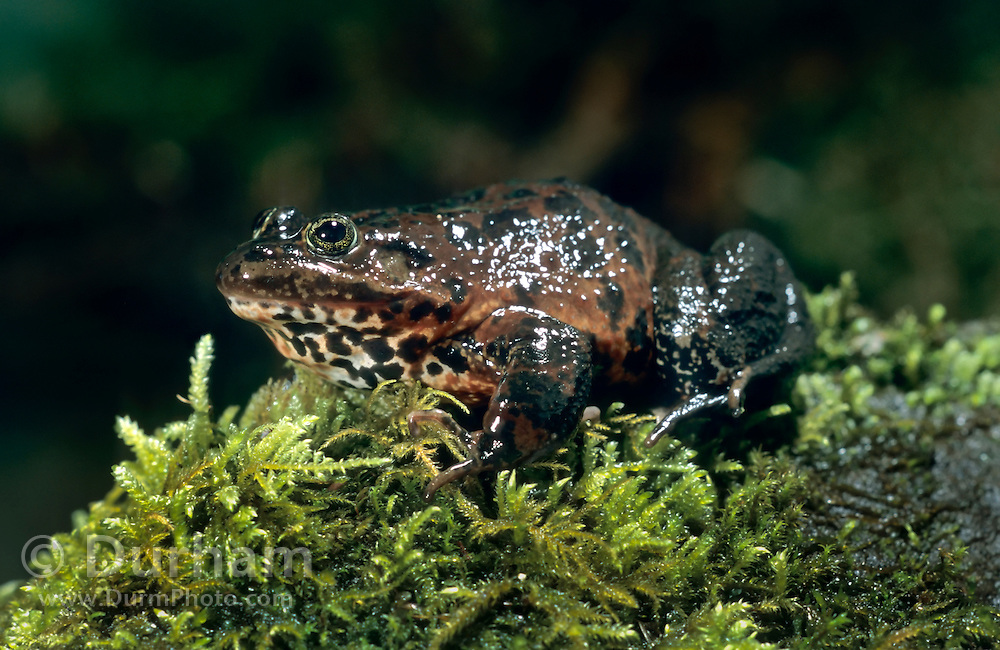 Oregon spotted frog (Rana pretiosa). These frogs are disappearing from their former ranges because of habitat loss and predation by non-native wildlife.