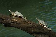 Assam roofed turtle (Pangshura sylhetensis)<br /> Kaziranga National Park<br /> Assam<br /> North East India<br /> UNESCO World Heritage Site<br /> ENDANGERED<br /> Endemic