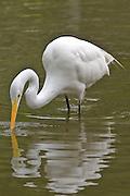 Great Egret, Florida, North America