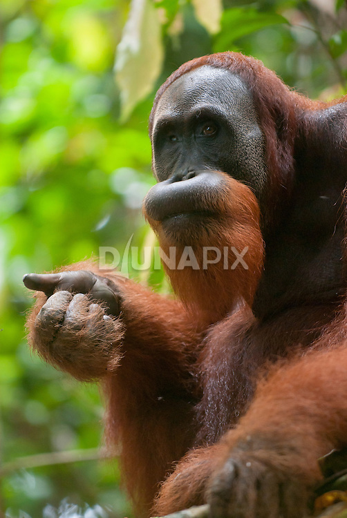 A Sumatran orangutan holds out his thumb, as if hoping to hitch a ride.