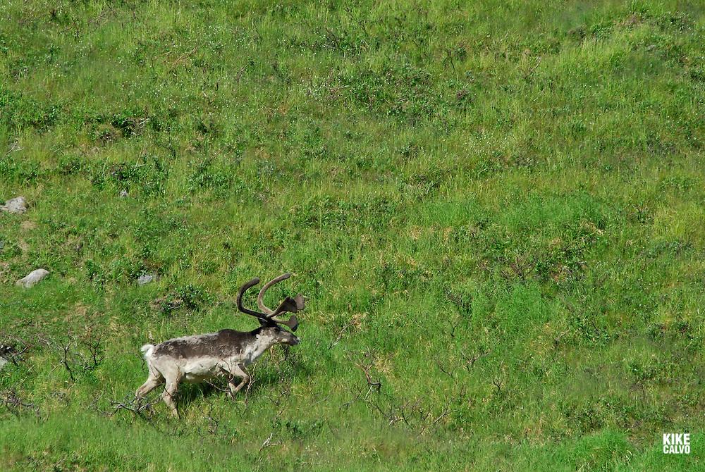 Ground Barrel Caribou Rangifer arcticus, Southern Baffin Island. Canadian Arctic. Arctic Ocean.
