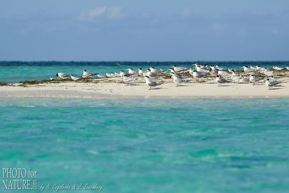 Indonésie, Province des Moluques, Seram Occidental, île de Koon, groupe de sternes sur un banc de sable // Indonesia, Maluku, East Seram, Koon Island, sea birds on a sandbank
