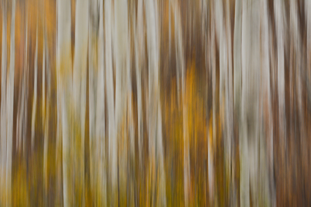 Motion blurred fall aspen trees