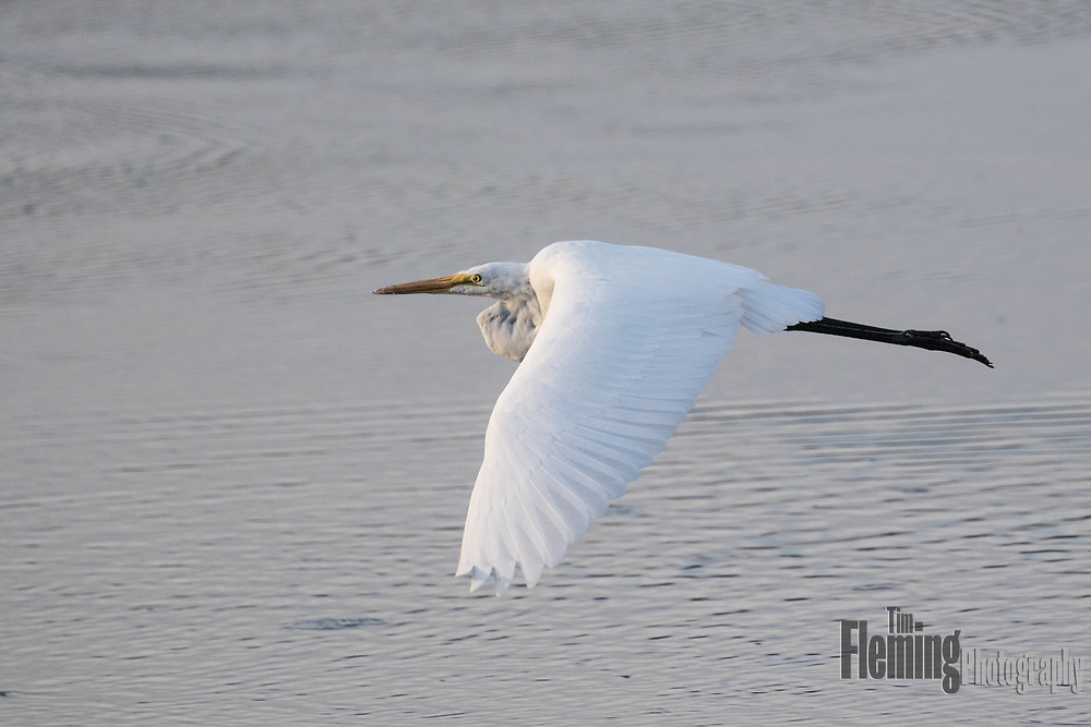 Great Egret flying over pond in Ellis Creek Waer recycling facility, Petaluma, CA.