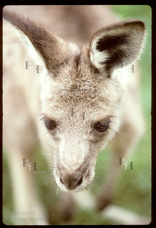 In portrait from above, wallaroo, or euro, (smallest kangaroo) is all ears and eyes; Wagga, NSW Australia