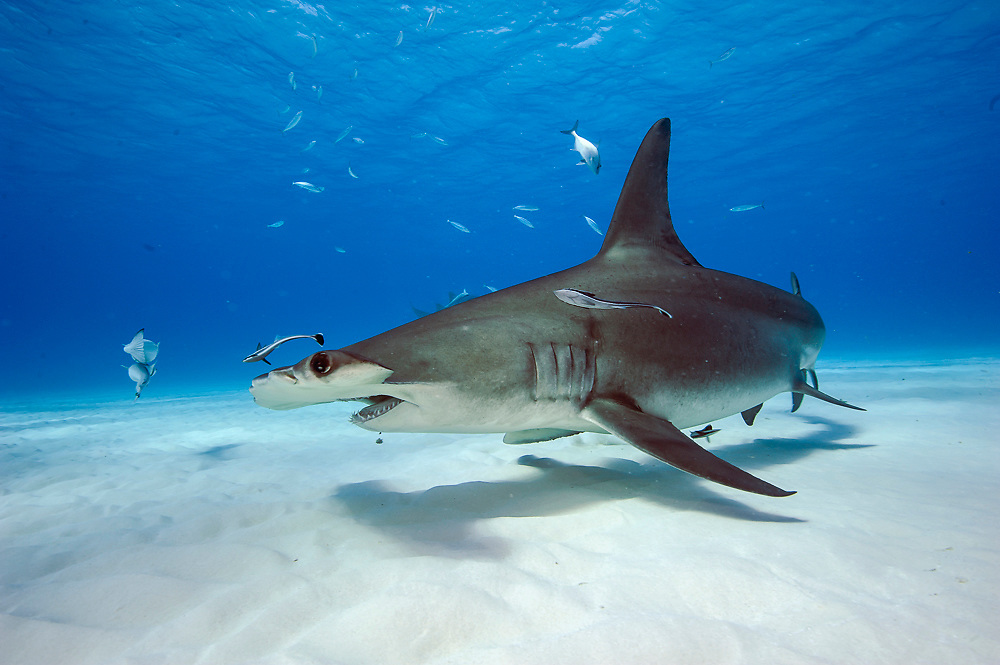Great Hammerhead Shark, Sphyrna mokarran, swims over the sandy flats offshore South Bimini, Bahamas, North Atlantic Ocean. IUCN Red List