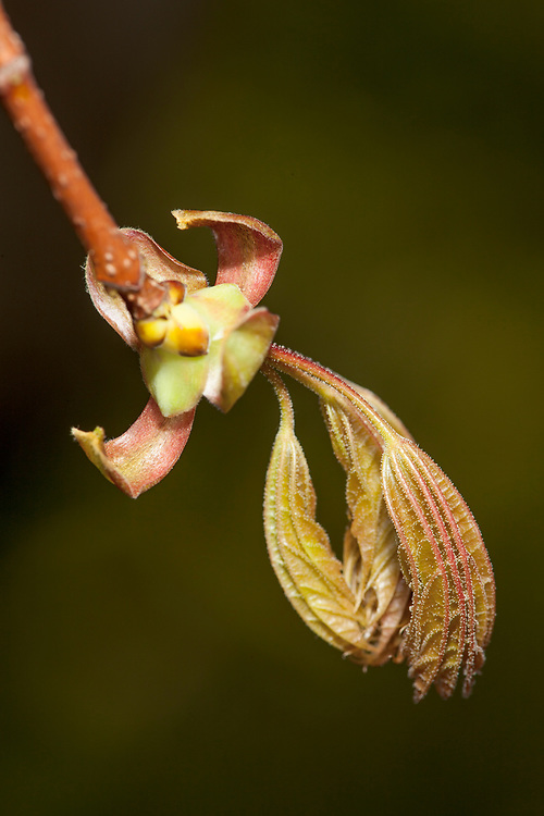 Budding Red Maple (Acer rubrum) leaves