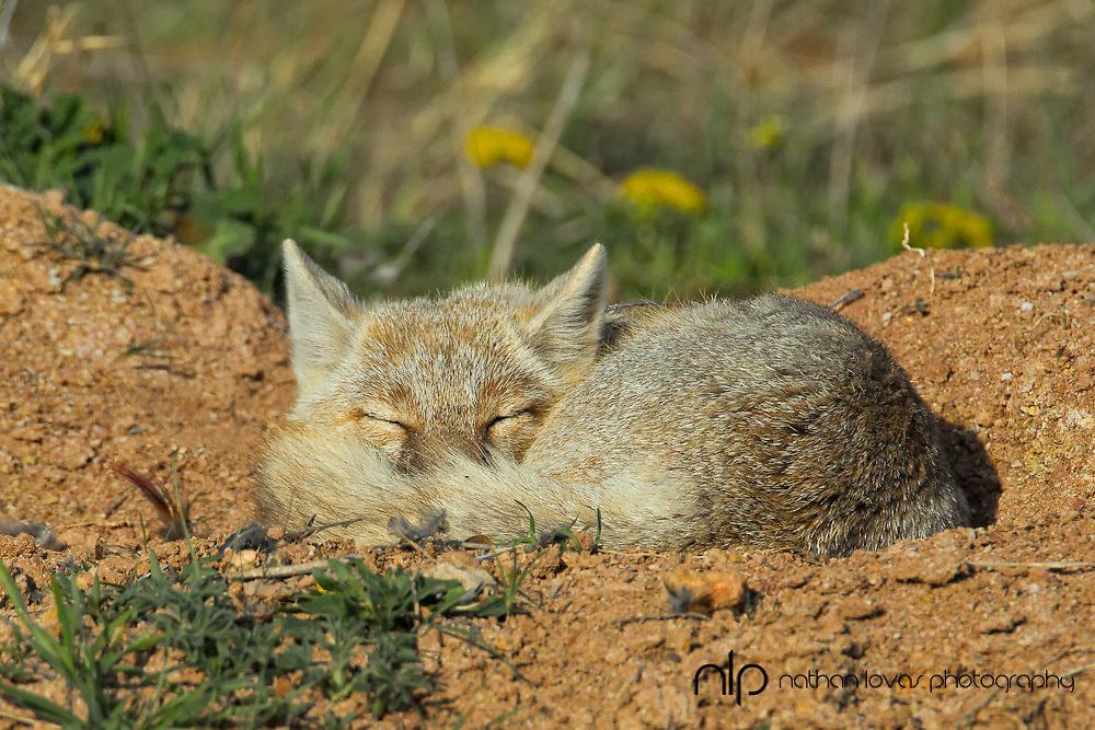 Swift fox sleeping;  taken in South Dakota in the wild.