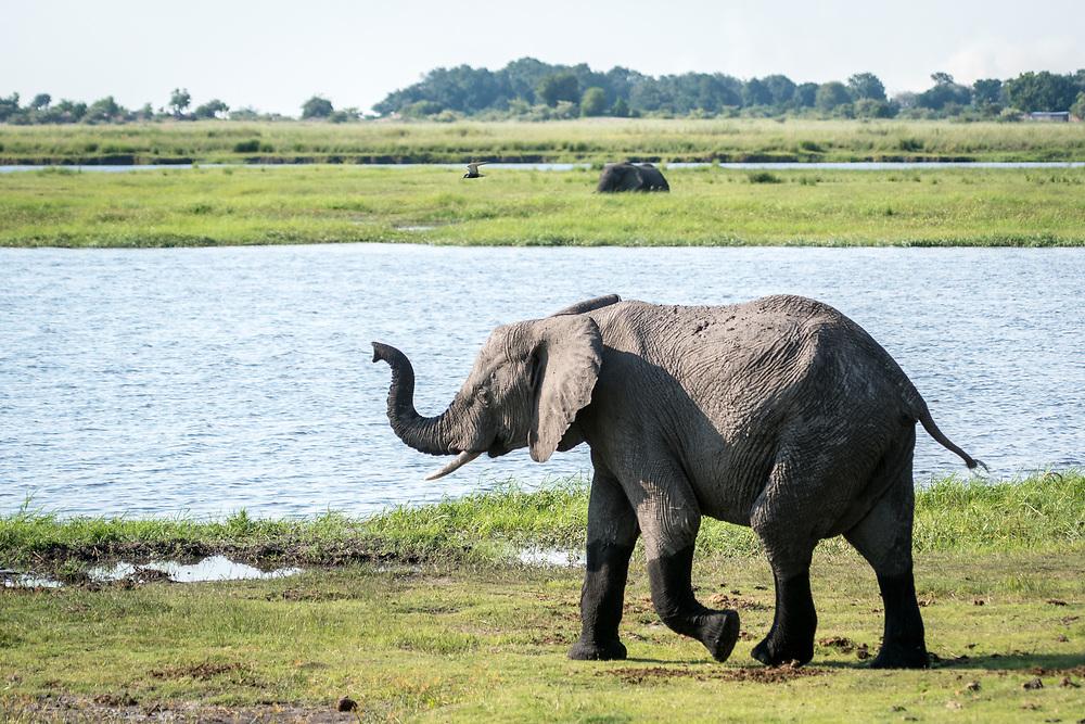 African bush elephant (Loxodonta africana) walks along water's edge with it's trunk raised, Chobe National Park - Botswana