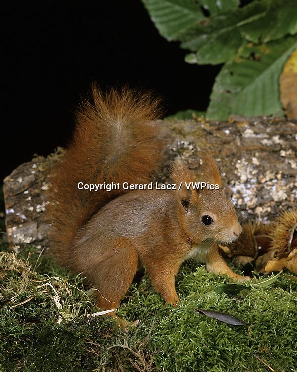RED SQUIRREL sciurus vulgaris, ADULT